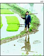 A rice farmer walks along a bank in a rice paddy field