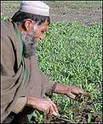 Afghan opium farmer