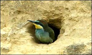 Bee-eater chick at mouth of tunnel