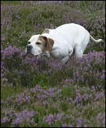 Judy, the English pointer