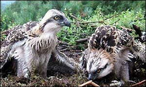 Osprey chicks in their Lake District nest