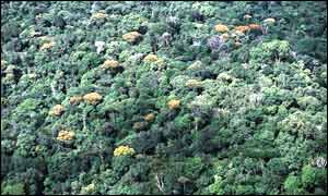 Amazon canopy featuring flowered trees (WWF-Brazil)