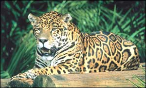 Panthera onca, or spotted jaguar (WWF)