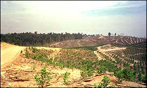 Deforested area of Tesso Nilo