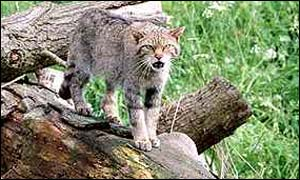 Wildcat generic - picture supplied by wildlife images
