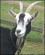 Bubble, the goat