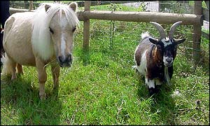 Bailey and pigmy goat Damian