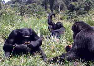 Chimps in a forest