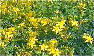 St John's Wort  is a basis for a popular remedy