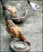 Chickens in Bangladesh