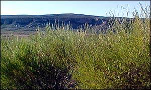 Rooibos plants