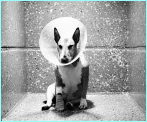 Terrier With Elizabethan Collar shows a dog recovering after minor surgery, wearing a special collar to stop it scratching