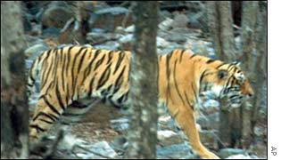 A tiger prowls the Ranthambhor sanctuary