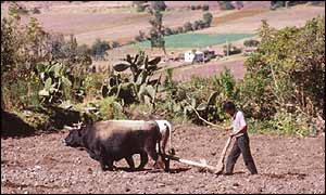Peruvian farmer ploughing his land