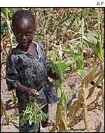Child with withered maize crop