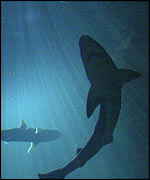 Sharks in sea   BBC
