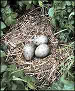 Three gulls' eggs in nest   NOAA