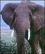 Savannah elephant