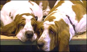 Dogs at Crufts, bbc
