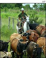 Man herding cattle in Cuba to safer pastures