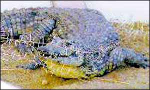 Recaptured crocodile (courtesy of The Namibian)