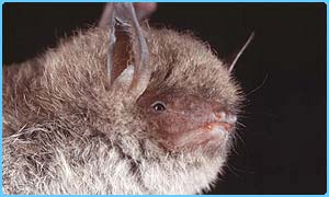 The Daubenton's bat