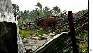 Cow grazes in wreckage of Cuban home