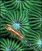 The pygmy goby is less than two centimetres long