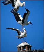 White storks fighting for chimney space