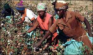 Cotton pickers in Zimbabwe