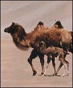 Camel and calf   John Hare