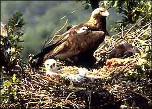 Eagle and chick in nest   S Danko