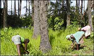 Women growing rice in Casamance