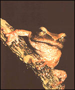 Frog, Image courtesy of Madhava Meegaskumbura