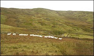 Sheep grazing at the centre of Wales