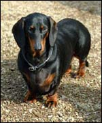 Dachshund ( picture courtesy of freefoto.com)
