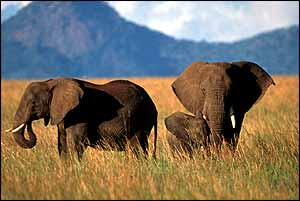 African elephants on plain   Ifaw