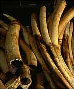 Confiscated tusks   Ifaw
