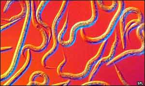 Nematode worms   SPL