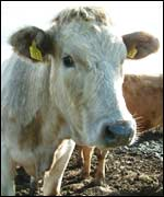 Cow at the centre of Northern Ireland