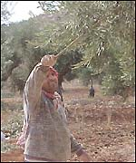 Palestinian olive grower near the town of Yanoun