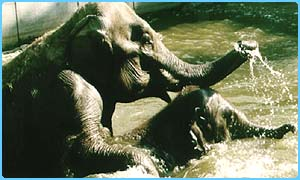 Mummy elephant with baby play in a zoo pool