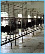 Bears are kept in cramped cages in bear farms