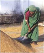 Woman shovelling grain