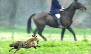 A fox during a hunt