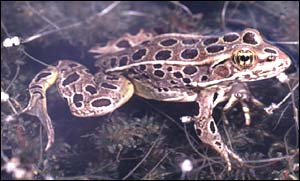 Leopard frog, Dr Tyrone Hayes