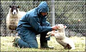 A vet examining a lamb for foot-and-mouth disease last year