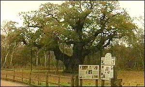 Major Oak in Sherwood Forest