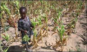 Poor maize crop