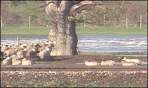 Sheep in flood water